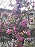 drzewa ogrodowe, drzewa do malego ogrodu, drzewa liściaste, jablon_purpurowa