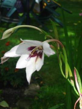 Acidantera Dwubarwna Acidanthera Ogrodnik Amator Uprawa Ogrodu