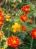 kwiaty do ogrodu, sąsiedztwo roślin