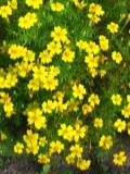 aksamitka wąskolistna, aksamitki, katalog roślin ogrodowych