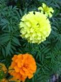 aksamitka wzniesiona, aksamitki, kaltalog roślin ogrodowych, rośliny na a