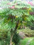 aralia chińska, galeria roślin, katalog
