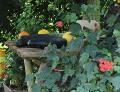 jesienne dekoracje, cukinia, dynia ozdobna, ogród wiejski, galeria ogrodowa