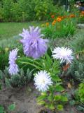 Ogrodnik-amator, opis rośliny, Aster chiński, Callistephus chinensis, uprawa astrów chińskich, aster chinski kwiat, kwiaty jednoroczne, rosliny o barwnych kwiatach, rośliny o ozdobnych kwiatach, kwiaty ogrodowe, kwiaty na rabaty, kwiaty lata
