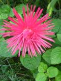 kwiaty trudniejsze w uprawie, kwiaty jednoroczne, astry chińskie