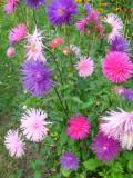 kwiaty, rośliny jednoroczne, aster chiński