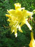 Ogrodnik-amator, opis rośliny, Azalia pontyjska, różanecznik żółty, Rhododendron luteum, uprawa azalii pontyjskiej, opis rośliny, krzewy kwitnące wiosną, krzewy o żółtych kwiatach, krzewy na gleby kwaśne