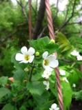 kwiaty trudniejsze w uprawie, kwiaty jednoroczne, bakopa