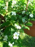 bakopa, galeria roślin, zdjęcia, rośliny na literę b