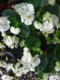 Ogrodnik-amator, opis rośliny, Begonia stale kwitnąca, Begonia semperflorens, uprawa begonii stale kwitnącej, pielęgnacja begonii wiecznie kwitnącej, opis rośliny, kwiat, Kwiaty jednoroczne uprawiane z rozsady, kwiaty w rózowym, karminowym, białym kolorze, kwiaty letnie