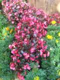 KWIATY OGRODOWE, begonia stale kwitnąca