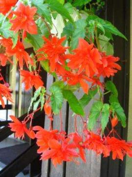 Begonia Zwisająca Begonia Pendula Uprawa Begonii Zwisającej Opis