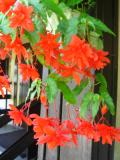 kwiaty ogrodowe, kwiaty łatwe w uprawie, begonia zwisająca