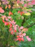 berberys thunberga, zdjęcia roślin, galeria roślin