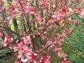 Ogrodnik-amator, opis rośliny, Berberys Thunberga, Berberis, uorawa berberysów . Ogrodnik-amator. Uprawa berberysów, opis rośliny, berberys w ogrodzie