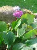 rośliny na skalniak - bergenia sercowata,ogród skalny