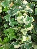 bluszcz, zdjęcia roślin