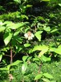 Ogrodnik-amator, opis rośliny, Borówka amerykańska, Vaccinium corymbosum, Highbush blueberry, borówka wysoka, uprawa borówki amerykańskiej, pielęgnacja borówki wysokiej, krzewy owocowe, krzewy o niebieskich owocach, ogród owocowy, drzewa i krzewy owocowe, rośliny użytkowe, rośliny owocujące, rośliny jagodowe, krzewy na kwaśne gleby, Krzewy łatwe w uprawie