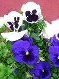 rośliny dwuletnie, rośliny balkonowe, bratek, bratki