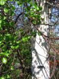 brzoza, fotografie roślin