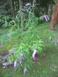 krzewy Liściaste , budleja dawida