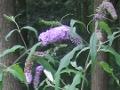 Ogrody, zdjęcia budleji dawida, uprawa budleji, pielęgnacja budleji dawida