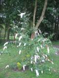 krzewy ogrodowe, krzewy trudniejsze w uprawie, krzewy liściaste, budleja Dawida