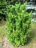 krzewy ogrodowe, krzewy łatwe w uprawie, krzewy liściaste, bukszpan