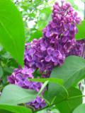 ogród, ogrodniklilak, bez, bzy kwitnące w maju