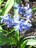 cebulki kwiatowe, cebulica syberyjska