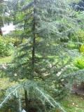 rośliny iglaste , drzewa iglaste cedr himalajski