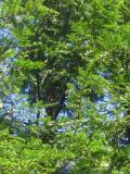 Ogrody, zdjęcia choina kanadyjska w ogrodzie