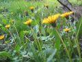 ekologiczny ogród, naturalne nawożenie, wyciąg  z mniszka lekarskiego