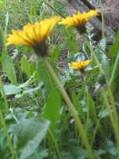 ogrodnik - rośliny  ogrodowe chwasty, zwalczanie chwastów