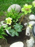 ciemiernik ogrodowy, zdjęcia rośliny