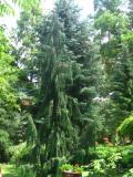 drzewa ogrodowe, drzewa łatwe w uprawie, drzewa iglaste, cyprysik nutkajski