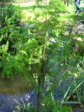 cyprysnik błotny, galeria roślin