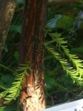 Ogrodnik-amator, opis rośliny, Cypryśnik błotny, Taxodium distichum, uprawa cypryśnika błotnego , opis rośliny, drzewa dość łatwe w uprawie, drzewa iglaste