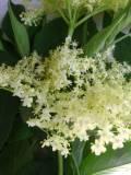 Ogrodnik-amator, opis rośliny, Czarny bez, Sambucus nigra, Common elder, uprawa czarnego, krzewy kwitnące pod koniec wiosny, krzewy o białych kwiatach, krzewy o dużych rozmiarach, krzewy lisciaste,  krzewy ozdobne