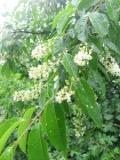 czeremcha amerykańska, galeria roślin, zdjęcia rosliny