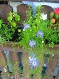 Ogrody, rośliny  , czubatka ubiorkolistna