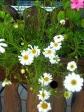 kwiaty ogrodowe, kwiaty łatwe w uprawie, kwiaty jednoroczne, czubatka ubiorkolistna