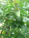 dąb szypułkowy, galeria roślin