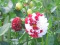 Ogrodnik-amator, opis rośliny, Dalia, Dahlia, uprawa dalii,  opis rośliny, kwiaty wieloletnie, rośliny cebulowe, rośliny bulwiaste, jak uprawiać dalie