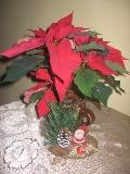 świąteczne aranżacje, ozdobne aranżacje, zimowe dekoracje dekoracje, poinsecja, zdjęcia ogrodowe,  galeria ogrodowa