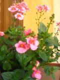 diaskia, rośliny na literę d, zdjęcia roślin