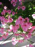 kwiaty trudniejsze  w uprawie, kwiaty jednoroczne, diaskia, kwiaty do ogródka