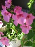Ogrodnik-amator, opis rośliny, Diaskia, Diascia barberae, Diascia, Twinspur uprawa diaskii, opis rośliny, Kwiaty jednoroczny uprawiane z rozsady, kwiaty wielobarwne, kwiaty letnie, kwiaty łatwe w uprawie, kwiaty trudniejsze w uprawie, rośliny kwitnące latem