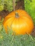 dynia olbrzymia ozdobna, rośliny na literę d, zdjęcia roślin