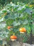 Ogrodnik-amator, opis rośliny, Dynia olbrzymia, Cucurbita maxima,uprawa dynii olbrzymiej